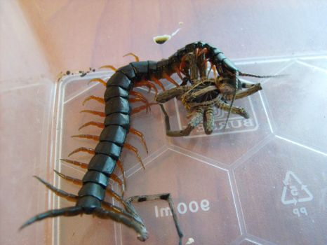 Centipede Eating Wolf Spider by Artipod