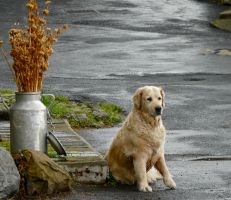 Waiting his master by Alice-view