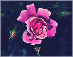 a rose in the night by annie23topy
