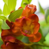 Freesia III by dev1n