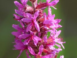 Purple Loosestrife by Kitteh-Pawz
