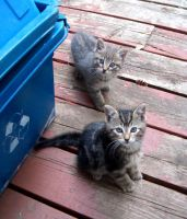 Dark and thin striped kittens by Ripplin
