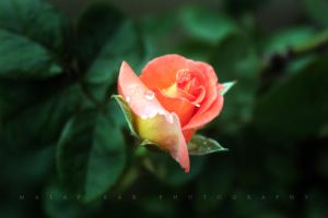 new rose by malaydesigns