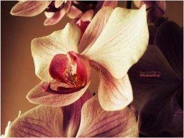 Orchid by ThePusch