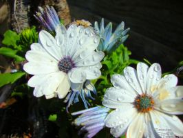 daisies with waterdrops by madelon2707