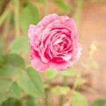 Rose by EliseEnchanted