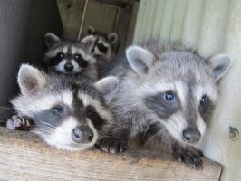 Young Raccoons 38 by Windthin