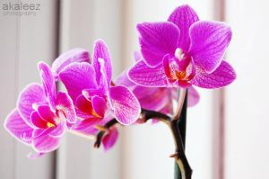 orchids by akaleez88