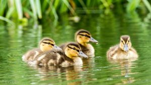 Tiny mallards by ErikEK