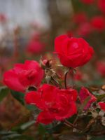 Tea Roses 01 by botanystock
