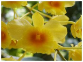 Yellow Orchid by eosthilas
