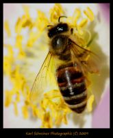 Bee by KSPhotographic