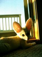 Cairo the Fennec Fox by theDIZZYedge
