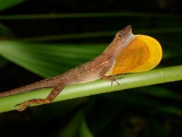 Costa Rica - Lizard by Amska