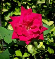 Yesterdays Rose Today by Tailgun2009