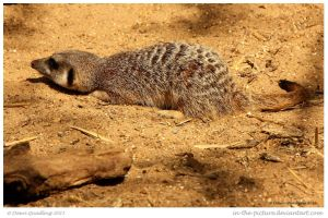 Meerkat Assassin by In-the-picture