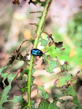 Chrysolina Coerulans by iriscup