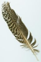 turkey feather by ninive