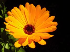 Calendula officinalis III by Paul774