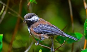 Young One - Chestnut-backed Chickadee by AzureWindProductions