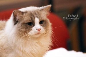 Ragdoll by EliseJ-Photographie