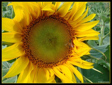 Bee a sunflower by tybcorp