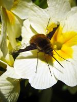 Bombylius Major by iriscup
