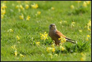 Male Kestrel in Cowslip Meadow by nitsch