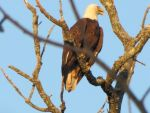 Bald Eagle 3 by Saberrex