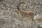 Ibex close-up by 914four
