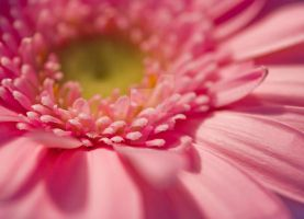 gerbera... by clochartist-photo