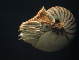 Nautilus by DandyStock