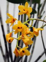 Tangerine orchids by fosspathei