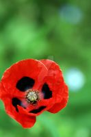 Poppy love by Gothic-Dreamscapes