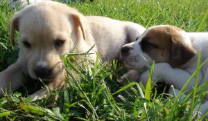 Puppies - Blondie and Bubba 3 by Angelos-Griever
