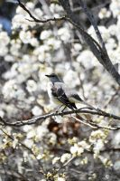 Mocking Bird with wild plumb by Philatx