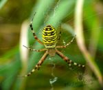 Wasp Spider with small hind leg by TheFunnySpider