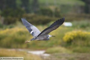 White Faced Heron In Flight by Reub-o-tographer
