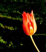 A Tiny Tulip... by JocelyneR