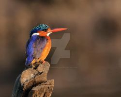 New hair do - Malachite kingfisher by Jamie-MacArthur