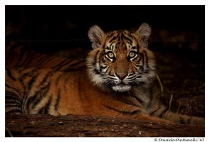 Baby Tiger: Looking Up by TVD-Photography
