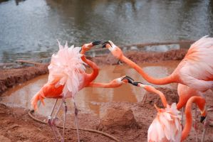 Flamingo Squabble 02 by ManitouWolf