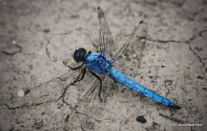 Light Blue Dragonfly by Tinna-92