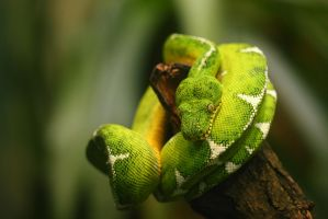 Emerald Tree Boa by cro4ky