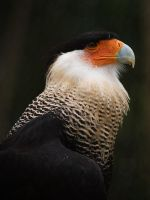 Crested Caracara III by secondclaw