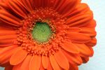 Orange Flower by KayleighOC