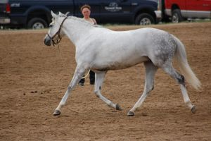 Grey horse stock 1 by Carnival-ride-Stock