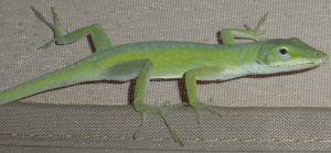 Anole 0587 by Aazari-Resources
