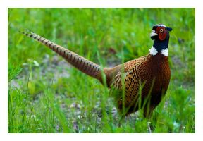 Common Pheasant by theFouro