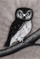 Saw-whet Owl by Infiltr8